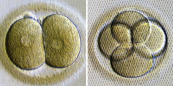 初期胚(培養2日目)